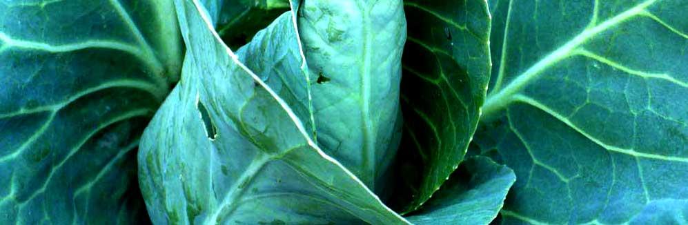 Soorten groenbemesters